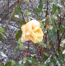 Roses in winter